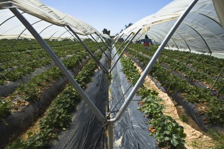 plants species: Strawberry grennhouses Stock Photo