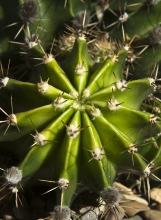 plants species: Thera sono piante grasse varie specie di piante che provengono dalle zone aride dei tropici, subtropicali, semi-deserto, e il deserto che � stato introdotto nel giardino andaluso con successo, questo � un esempio di questo