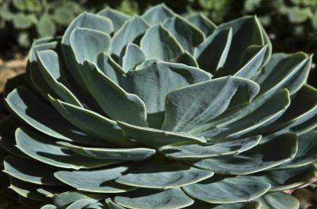 introduced: Thera son varias especies de plantas suculentas que provienen de las zonas secas de los tr?os, subtr?os, semi-desierto, y el desierto que se ha introducido en los jardines andaluces con ?to, este es un ejemplo de este Foto de archivo