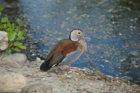 ringed: The Ringed Teal, a small duck of South American forests, beside the pond shore