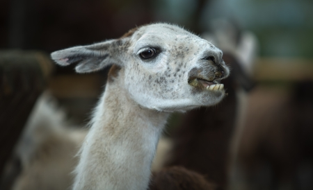 Llama head close-up portrait on nature background photo