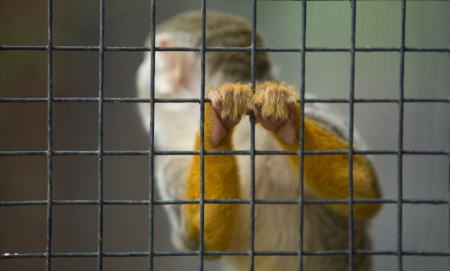 bearded wire: A cute and small titi monkey in Cordoba Zoo, Spain