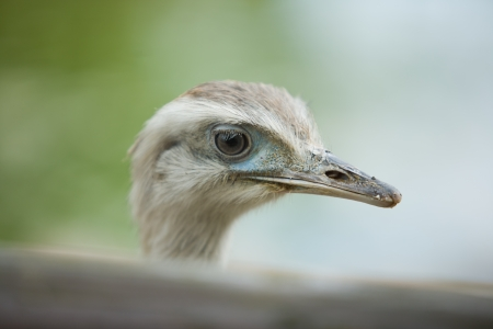 rhea: Close-up portrait of Greater Rhea bird with green  background