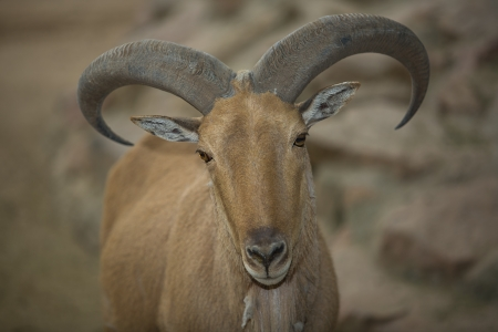 A barbary sheep standing on a rock, Ammotragus lervia photo