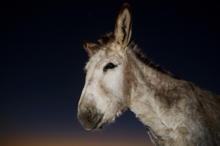 big ass: A funny donkey performs for the camera at sunset, Don Alvaro, Badajoz, Spain