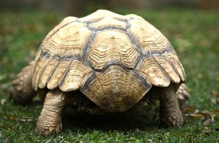 sulcata: African Spurred Tortoise (Geochelone sulcata) on grass