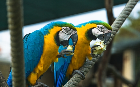 malaisia: A pair of parrots eating apple on a rope