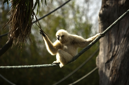 handed gibbon: white handed gibbon hylobates lar standing in tree Stock Photo