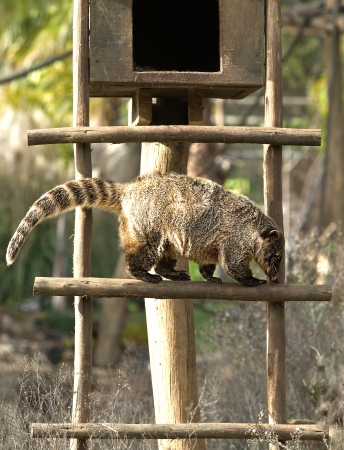 Coatis use to be diurnal animals, and live on the ground and in trees, and typically live in the forest. Theyre omnivorous and primarily eat fruit, invertebrates, other small animals and birds eggs photo