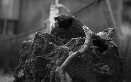 siamang: Bored siamang on a trunk on black and white Stock Photo