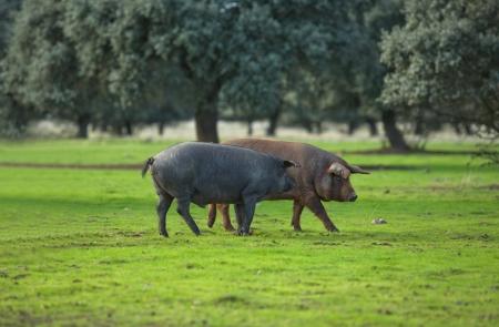 Black Iberian pigs on a meadow. Extremadura, Spain Standard-Bild