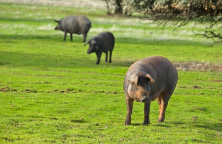 iberian: Black Iberian pigs on a meadow. Extremadura, Spain Stock Photo