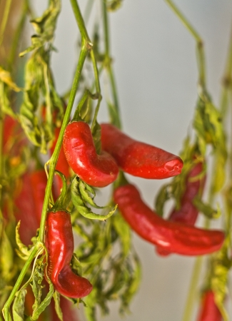 valsinni: Red hot peppers hanging on the wall, Extremadura, Spain