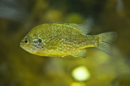 pumpkinseed: A pumpkinseed sunfish or Lepomis gibbosus swiming in fresh water. Close-up