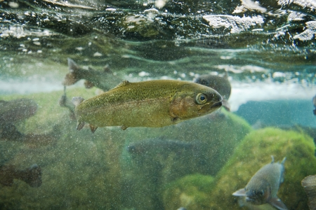 Several brown trouts or salmo trutta between bubbles of river bed photo