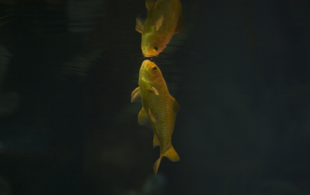 carassius auratus: The goldfish (Carassius auratus auratus) is a freshwater fish in the family Cyprinidae of order Cypriniformes. It was one of the earliest fish to be domesticated, and is one of the most commonly kept aquarium fish.
