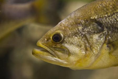 largemouth bass: A Largemouth Bass, Micropterus salmoides, floats motionless, close-up
