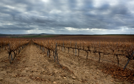 cropland: Cropland of Vineyards in winter Badajoz, Spain. Looking vineyard rows with red and yellow leaves in autumn