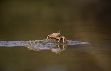 burrows: The Atlantic marsh fiddler crab, Uca pugnax feeding at Natural Park of Los Torunos, Cadiz, Spain
