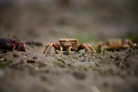 decapod: The Atlantic marsh fiddler crab, Uca pugnax feeding at Natural Park of Los Torunos, Cadiz, Spain