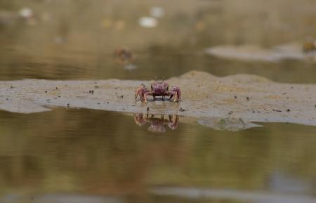 fiddler: The Atlantic marsh fiddler crab, Uca pugnax feeding at Natural Park of Los Torunos, Cadiz, Spain