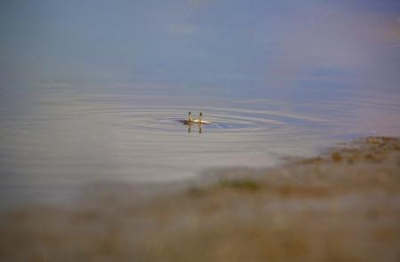 detritus: The Atlantic marsh fiddler crab, Uca pugnax feeding at Natural Park of Los Torunos, Cadiz, Spain