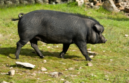 Black Iberian pigs on a meadow. Extremadura Spain photo