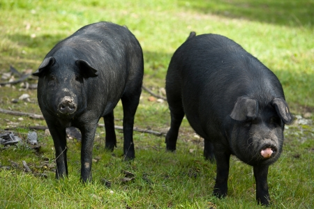 iberian: Black Iberian pigs on a meadow. Extremadura Spain Stock Photo
