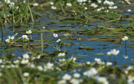 perez: Little frog sitting over the pond vegetation, close to water Valdesalor, Caceres, Extremadura, Spain Stock Photo
