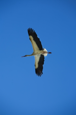 Stork flying high above Valdesalor fields, Caceres, Extremadura, Spain photo