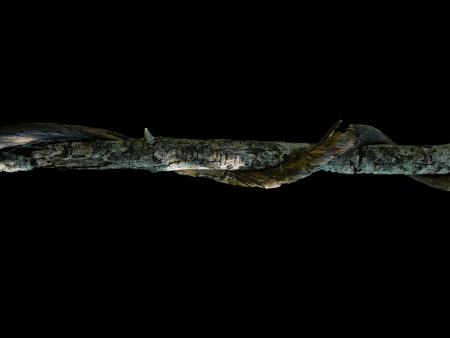 strangler: Strangler branch, isolated over black background, Alor Mountain Range, Extremadura, Spain Stock Photo