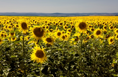 badajoz: Sunflower field into the sun and clean blue sky in Olivenza riverside, Badajoz, Extremadura, Spain