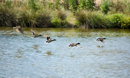 Mallards in flight just before take off over a pond photo