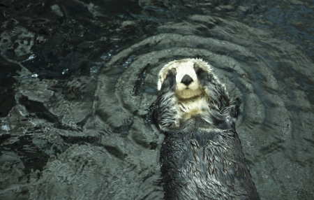 oceanario: Sea otters playing and eating in Lisbon Oceanarium, Portugal