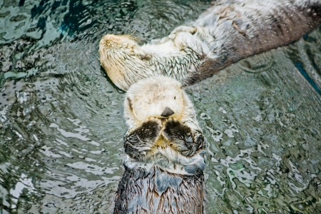 Sea otters playing and eating in Lisbon Oceanarium, Portugal