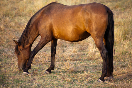 Brown horse grazing in green fields of Olivenza countryside, Badajoz, Extremadura, Spain photo