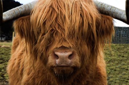 Una hermosa vaca de la montaña de cabellos dorados mira a la cámara, Escocia Foto de archivo