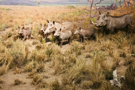 diorama: Image of warthog family standing in dry bush looking for food. Diorama