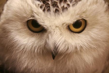 Closeup snow owl with big eyes.  A symbol of wisdom. Nictea scandiaca.Diorama