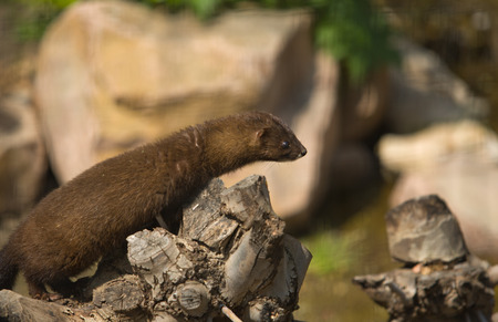 mink: Gazing european mink or mustela lutreola, also known as the Russian mink,  resting on tree branch Stock Photo
