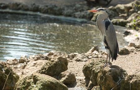 ardea cinerea: Grey heron, Ardea cinerea, single bird on  water shore, Spain
