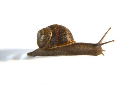 wigglers: Garden Snail on side over white background. Macro shot