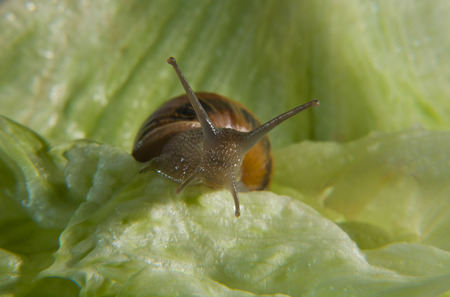 wigglers: Garden snail eating a green lettuce leaf, macro shot Stock Photo