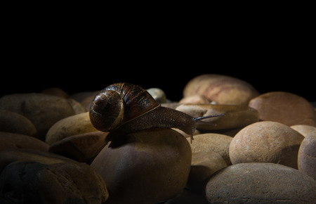 wigglers: Garden snail crawling over a stony surface at night Stock Photo