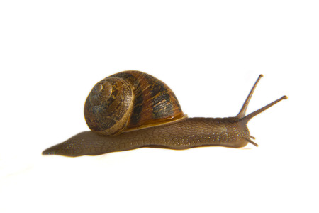 squirm: Garden Snail on side over white background. Macro shot