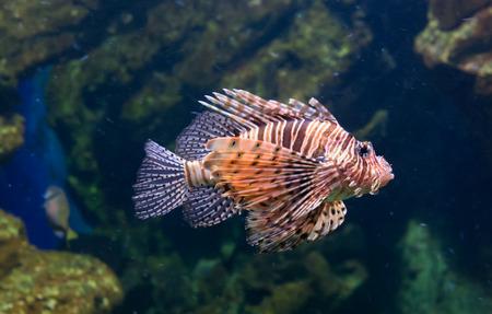 pterois: Red lionfish or Pterois volitans, in aquarium, Barcelona, Spain.