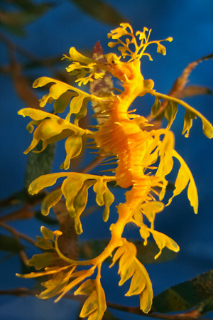 Leafy seadragon also known as Glauerts seadragon, in aquarium, Barcelona, Spain photo