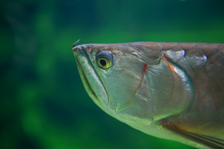 dragon swim: Silver Arowana in large Aquarium or Osteoglossum bicirrhosum