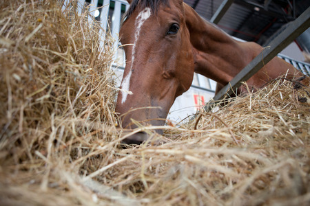 mouth close up: A close up of the mouth of a horse as it eats hay  Low angle shot Stock Photo