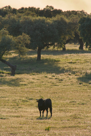 fighting bulls: Spanish free range Fighting Bulls breed free-range on extensive estates. Fighting bulls are selected for a certain combination of aggression energy strength and stamina